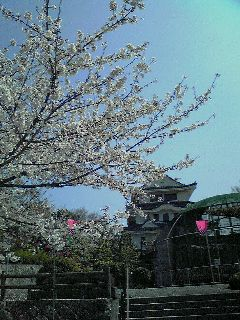 またまた桜